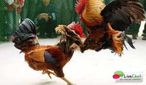 Agen Adu Ayam S128 Yang Terbaik di Indonesia dan Kriteria